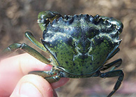 characteristics of the crab hemigrapsus sanguineus More details on the ecological characteristics of the basins  the asian shore  crab hemigrapsus sanguineus is recorded for the first time in two european lo.